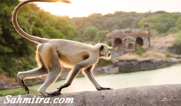 Gawat! Sekelompok Monyet di India Rampas Sampel Darah Pasien Corona