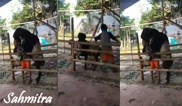 Viral Video Bocah Laki-laki Nyaris 'Dikawini' Kambing