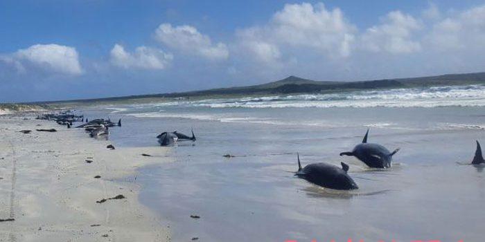 Terjadi Lagi, 100 Paus Pilot Terdampar di Pulau Terpencil Samudra Hindia