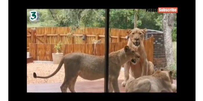 Pamer Rumah Dijaga Singa Liar, Pasangan Ini Bikin Warganet Iri